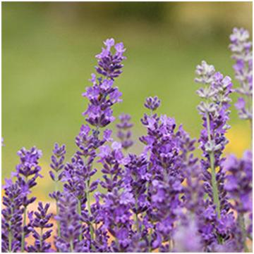 Essential Oils-Lavender